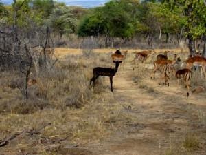 Black Impala - Breeding(2) (Small) (Medium)