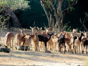 Black Impala - Breeding(3) (Medium)