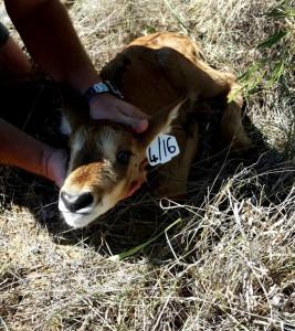 Sable - Breeding (2) (Medium)